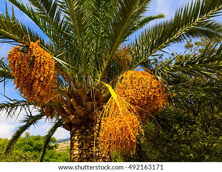 Palm dates hanging against blue sky
