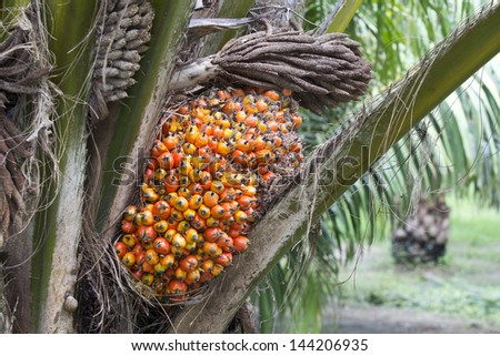 Palm fruit on the tree, tropical plant for bio diesel production - stock photo