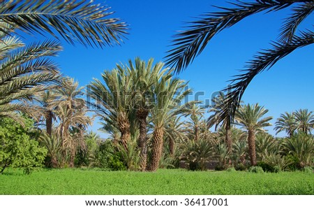 palm grove in Morocco, cloudless sky behind