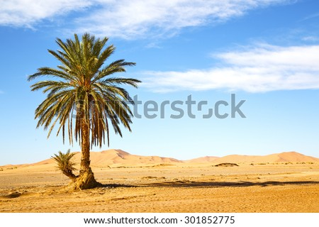 palm in the  desert oasi morocco sahara africa dune - stock photo