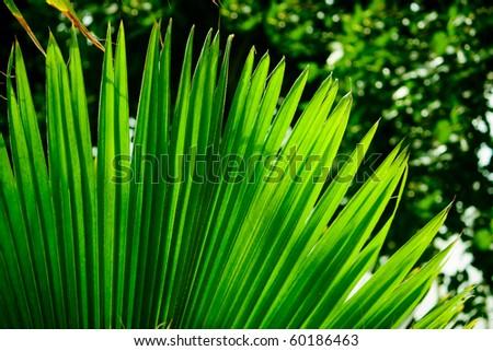 Palm leaf backlit - stock photo