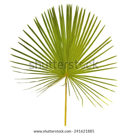 palm leaf close up surface isolated on white background - stock photo