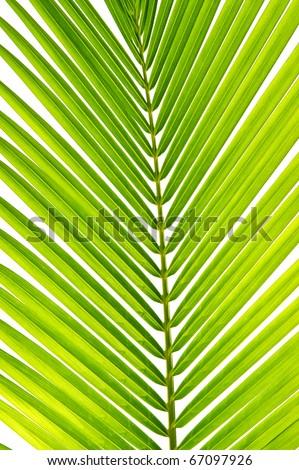 palm leaf coconut tree - stock photo