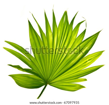 palm leaf isolated - stock photo