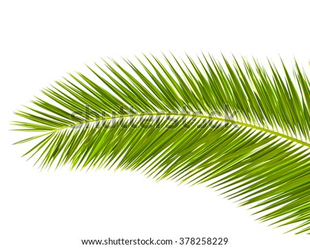 Palm leaf isolated on white - stock photo