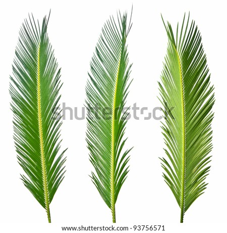 palm leaves isolated - stock photo