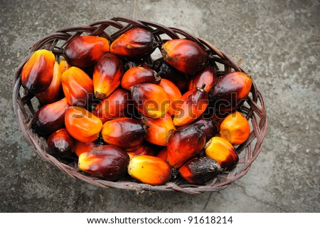 Palm oil, a well-balanced healthy edible oil is now an important energy source for mankind. It comes from the fruit itself (reddish orange). - stock photo