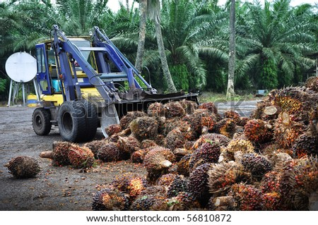 Palm Oil fruit, just picked off the tree. Malaysia. - stock photo