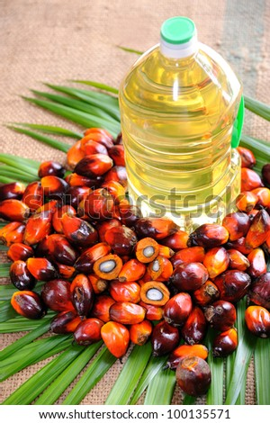 Palm Oil fruits, a well-balanced healthy edible oil is now an important energy source for mankind. it is widely acknowledged as a versatile and nutritious vegetable oil. - stock photo