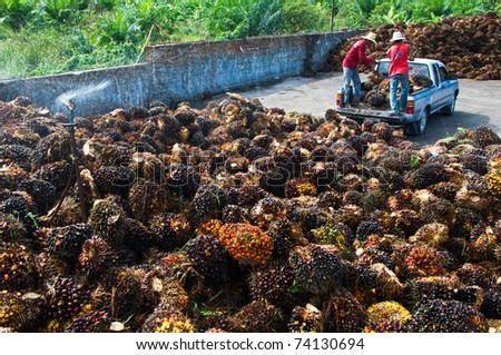 Palm Oil Fruits on the floor - stock photo