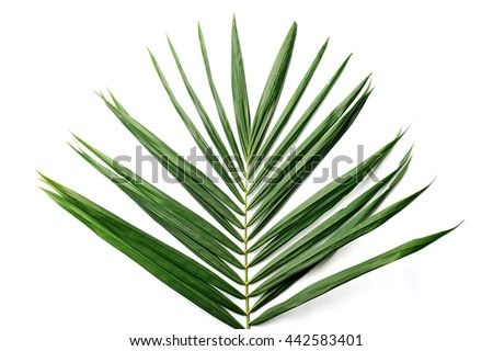 Palm oil leaves isolated on white background, selective focus.