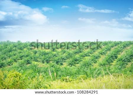 Palm Oil Plantation in Johor, Malaysia. - stock photo
