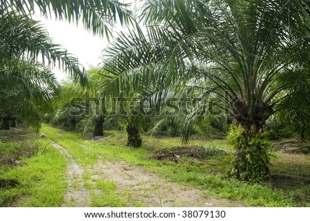 Palm Oil Plantation. Palm oil to be extracted from its fruits. Fruits turn red when ripe. Photo taken at palm oil plantation in Malaysia, which is also the world largest palm oil exporting country. - stock photo