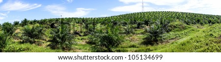 Palm oil plantation - Panorama - stock photo