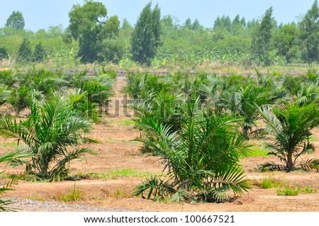 Palm oil plantation,Thailand - stock photo