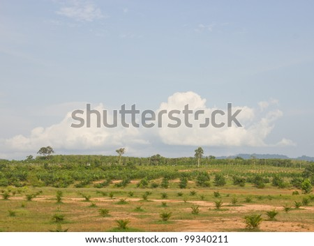 Palm oil plantations, as alternative fuel - stock photo