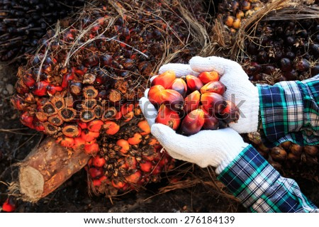 Palm oil seeds on male's hand  - stock photo