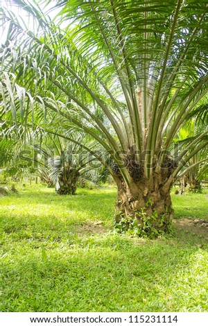palm oil tree is growing up