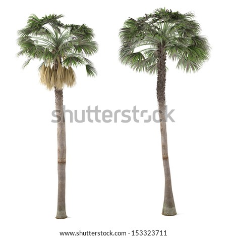 Palm plant tree isolated. Washingtonia Robusta
