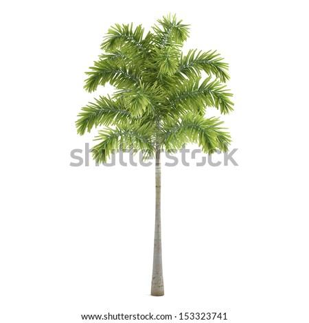 Palm plant tree isolated. Wodyetia - stock photo