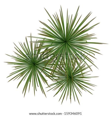 Palm plant tree top - stock photo