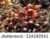 Palm Plat Fruit Seed Cluster - stock photo