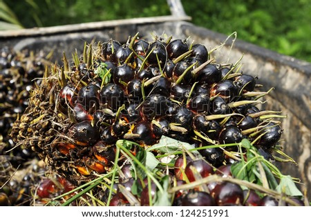 Palm Seed Cluster Fruit Day Plat - stock photo