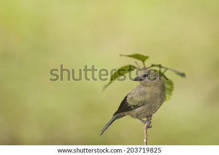 Palm tanager perched on a branch in Costa Rica. - stock photo
