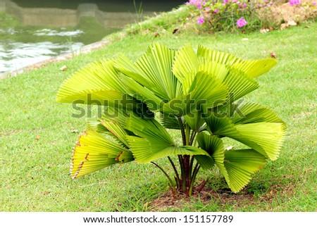 Palm tree - stock photo