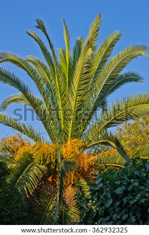 Palm tree at early morning sunshine, Sithonia, Greece