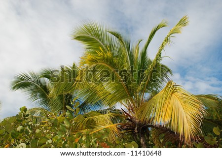 Palm tree canopy and sky.  British Virgin Islands.