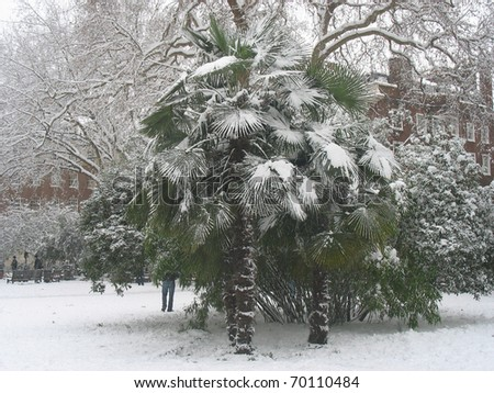 Palm tree covered in snow - stock photo