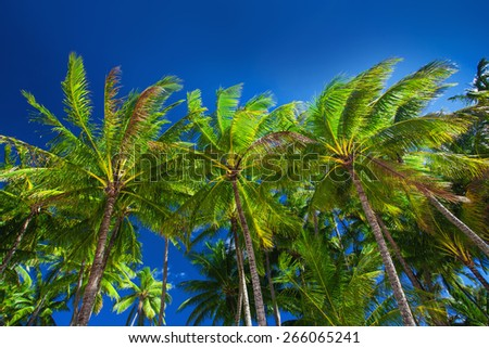 Palm tree forest against the blue sky in Australia - stock photo