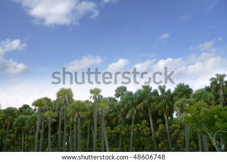 Palm tree forest in Florida  blue summer tropical sky - stock photo
