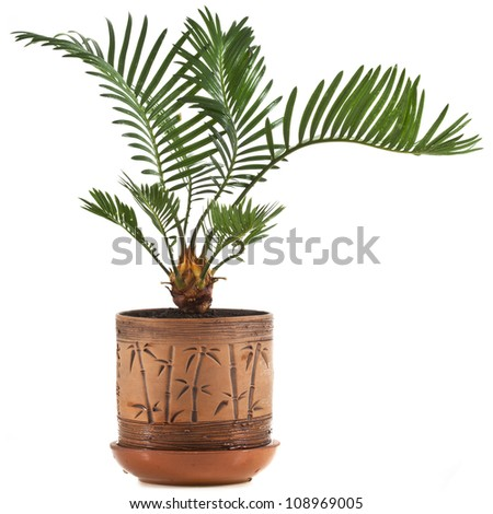 palm tree in clay flowerpot on white background - stock photo
