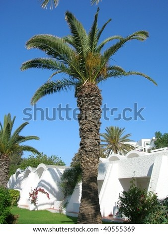 palm tree in Tunisia