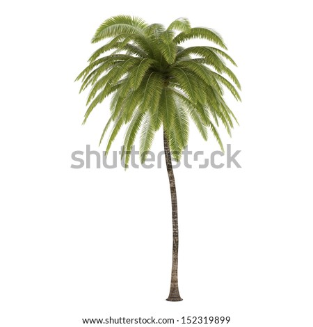 Palm tree isolated. Cocos Nucifera - stock photo
