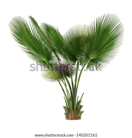 Palm tree isolated. Copernicia baileyana - stock photo