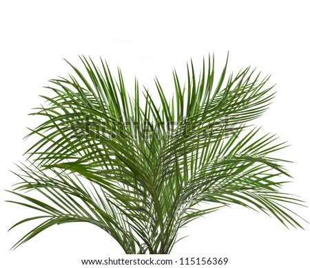 Palm tree  isolated on white - stock photo