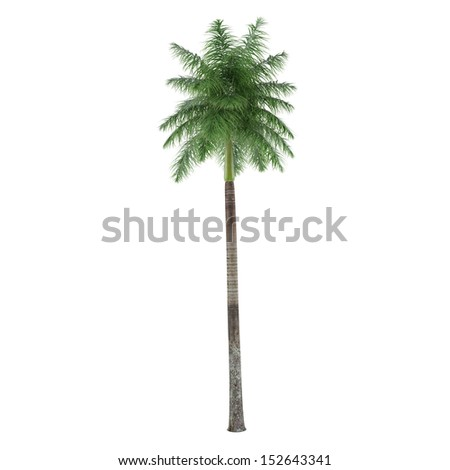 Palm tree isolated. Roystonea