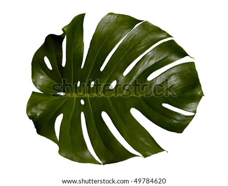 Palm-tree leaf texture isolated with clipping path on white background - stock photo