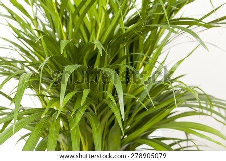 Palm Tree Leafs - stock photo