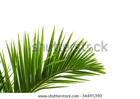 Palm tree leave - stock photo