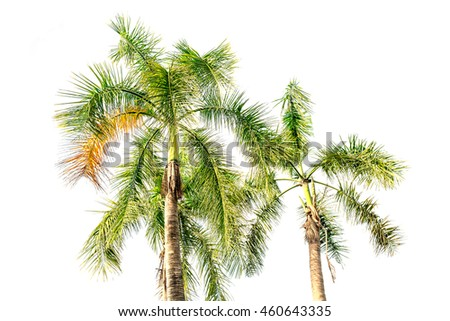 palm tree of coconut isolated on white background
