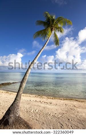 Palm tree on a sandy beach at the cyan sea.  - stock photo