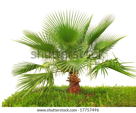 Palm tree on green grass (closeup, isolated) - stock photo