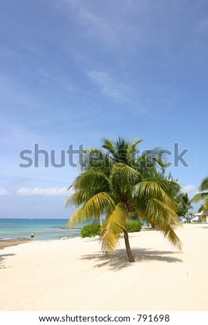 Palm tree on Seven Miles Beach, Grand Cayman - stock photo