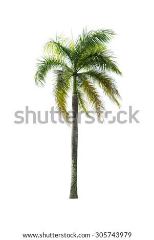palm tree on white background - stock photo