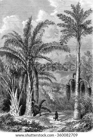 Palm Tree, Raphia of Madagascar, Caryota the Malabar, vintage engraved illustration. Magasin Pittoresque 1870. - stock photo