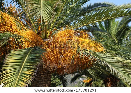 Palm tree with bright fruits